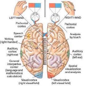 brain parts.jpg