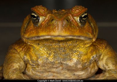canetoad.jpg