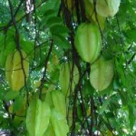 Starfruit M.E.